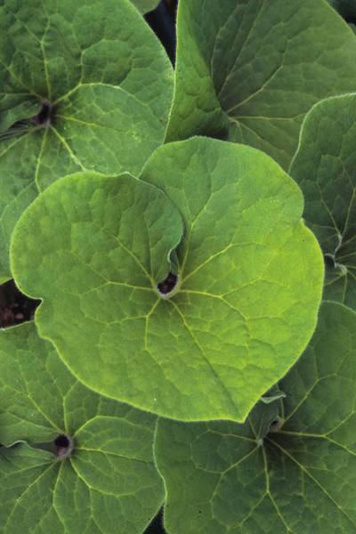 Asarum Canadense Wild Ginger Plant Shade To Part Shade