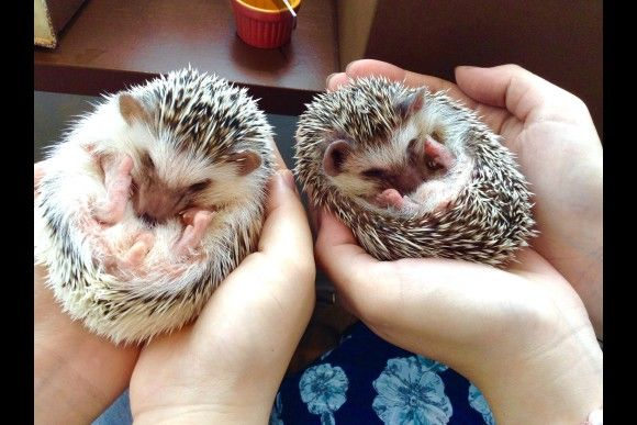 Hedgehog café in Roppongi, Tokyo is a place where you can interact with cute little hedgehogs! You may touch, feed & even keep your favorite one. Don't miss the chance to make a reservation for one of the most popular animal cafes in Tokyo!