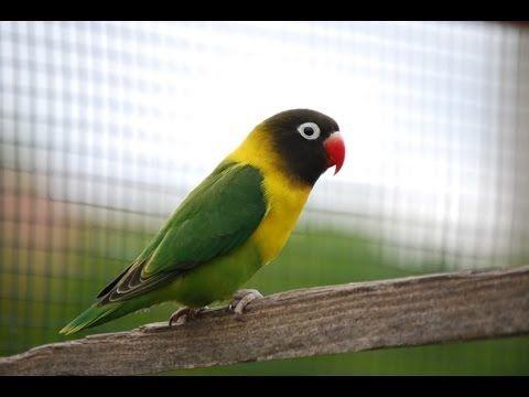 Kicau Lovebird - Kicau Suara Burung Lovebird Juara Gacor Suara Bening Full Ngekek Panjang