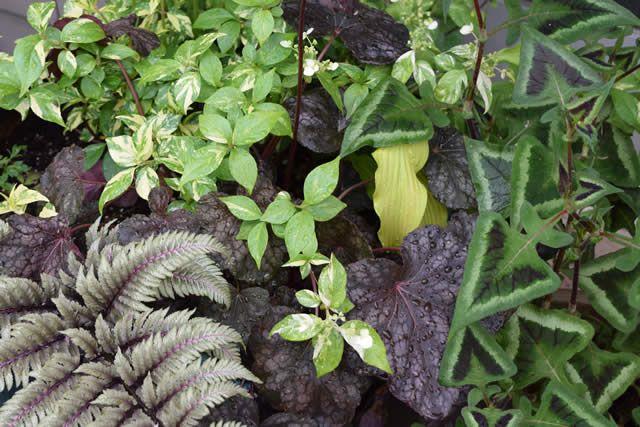 Oregon Beauty | Fine Gardening heuchera hydrangea foliage
