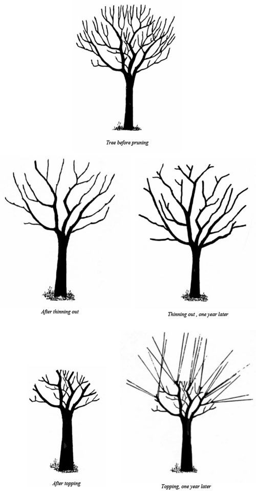 pruning diagram using five trees