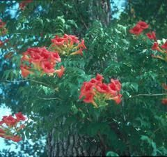 Campis radicans (Trumpet vine). To go with my Gelsemium sempervirens, Carolina Jessamine. Not for butterflies but for hummingbirds.