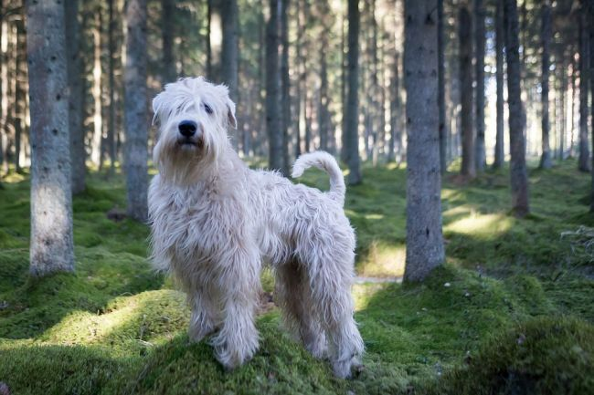 Soft Coated Wheaten Terrier In The Forest Large Dog Breeds Dog Breeds That Dont Shed Dog Breeds