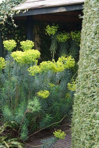 Euphorbia characias wulfenii - p9