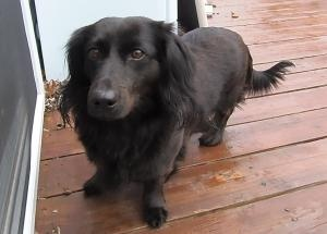 Tess is an adoptable Dachshund Dog in West Bloomfield, MI. Age: 4years Spayed female Appr.35 pounds Breed: Tess is a very unique all back, long hair, standard Dachshund Good with other CALM dogs Unk...