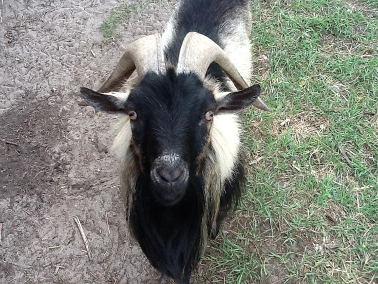 R Goats Good Pets 22 best images ...