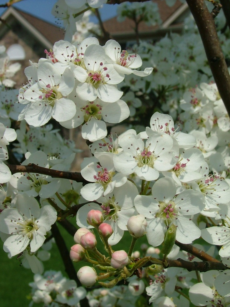 Jack dwarf flowering pear a mini me size tree but it for Dwarf flowering trees