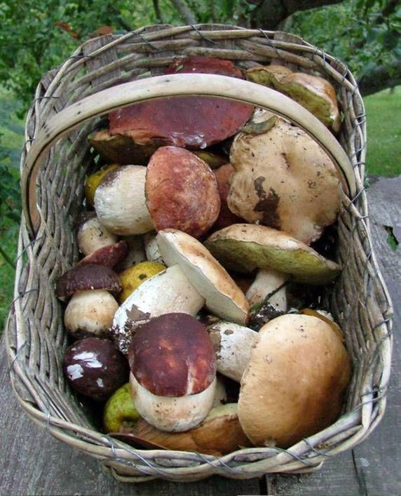 """Boletus Edulis (porcino).-  -BASILICATA:Pollino National Parck: i funghi del Pollino- I nomi sono tratti dal testo """"I funghi dal vero"""" vol.I di B.Cetto"""