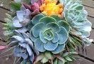 drought_tollerant_succulents_bohemian_H