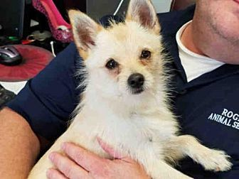 Rogers, AR - Chihuahua/Terrier (Unknown Type, Medium) Mix. Meet FOXY, a dog for adoption. http://www.adoptapet.com/pet/19361829-rogers-arkansas-chihuahua-mix