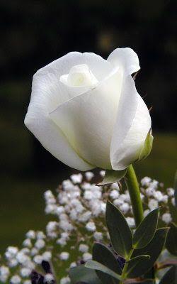 NAŠE LÁSKY: Měl jsem rád růži bílou...a seděla pod borovičkou