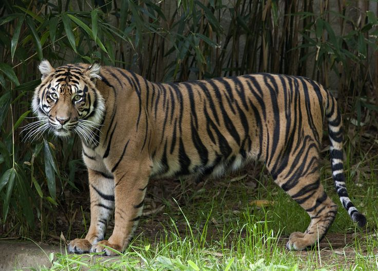 E-Torch | 400 songs, 400 tigers: Top honors to the Zoo for ...