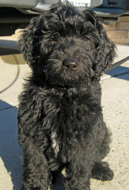 Benni the Labradoodle Pictures 689938