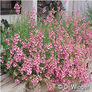 61 best texas smartscape north central tx plant list images on diascia integerrima coral canyon via high country gardens 15 x 18 wide zones salmon pink flowers held above foliage on wiry stems mightylinksfo