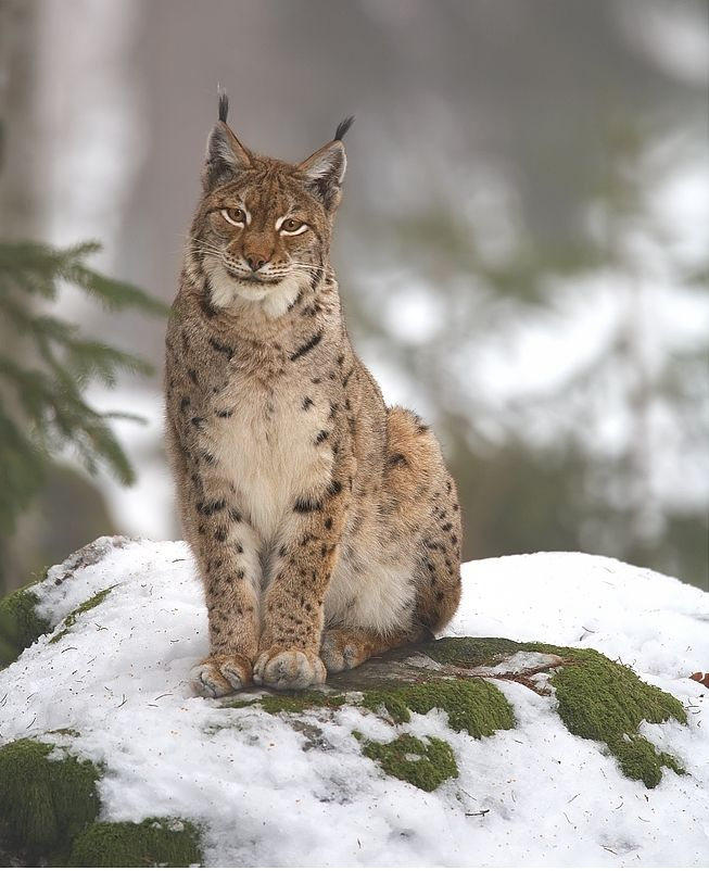 Eurasian Lynx. The number of lynxes in Poland is estimated at approximately 200. It is the largest European predators, an efficient tree climber, jumps well, but it is not a good sprinter.
