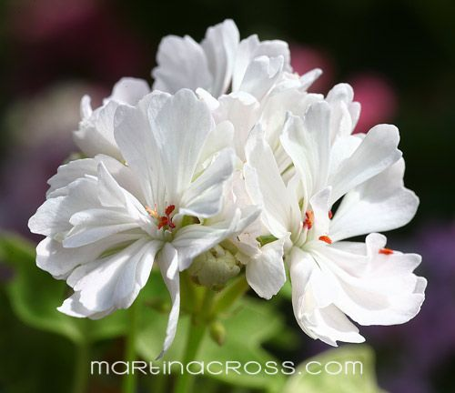 Pelargonie - Pelargonium - Pelargoner - Geranium Priory Star
