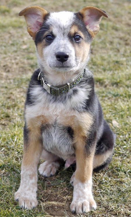 Ozzie the Cattle Dog mix... I can just see the intelligence in his eyes...