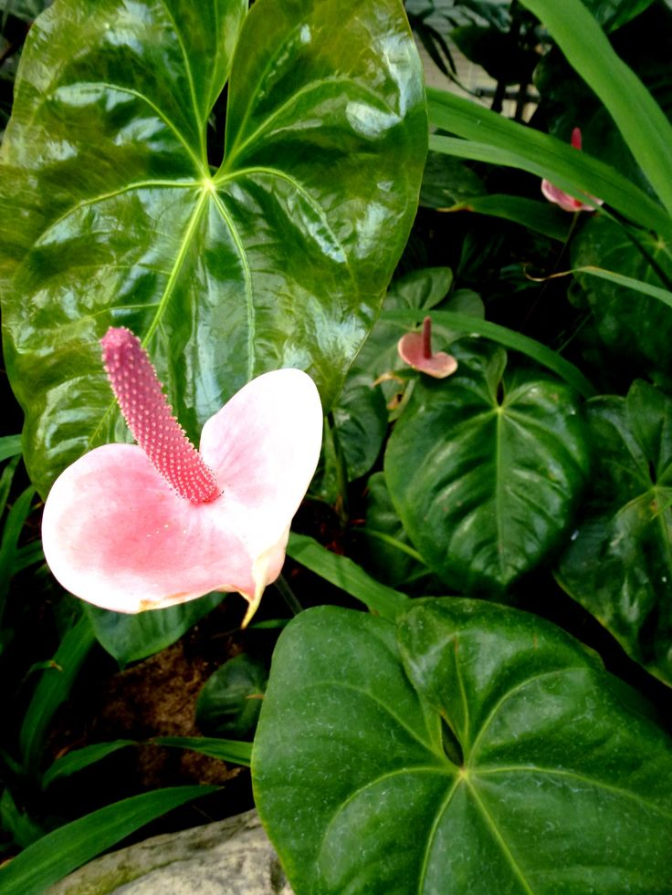 les 107 meilleures images du tableau fleurs tropicales sur pinterest fleurs tropicales fleurs. Black Bedroom Furniture Sets. Home Design Ideas