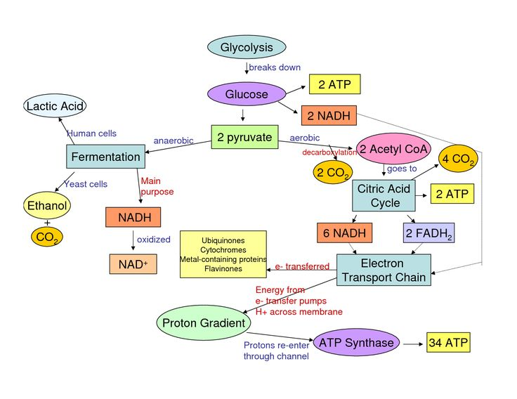 Cellular Respiration Glycolysis And Flow Chart The Stuff Of Life