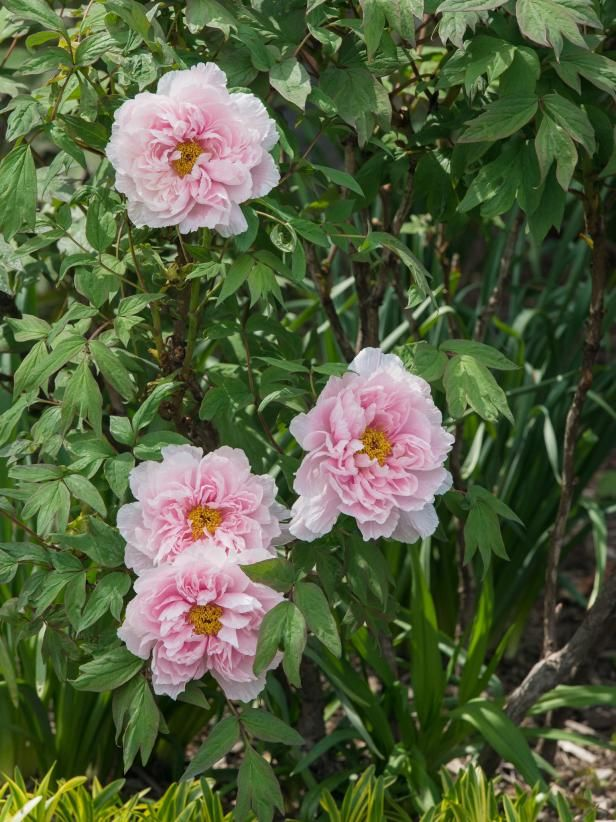 Learn about peony flowers, including peony meaning and peony symbolism through history, from the experts at HGTV.