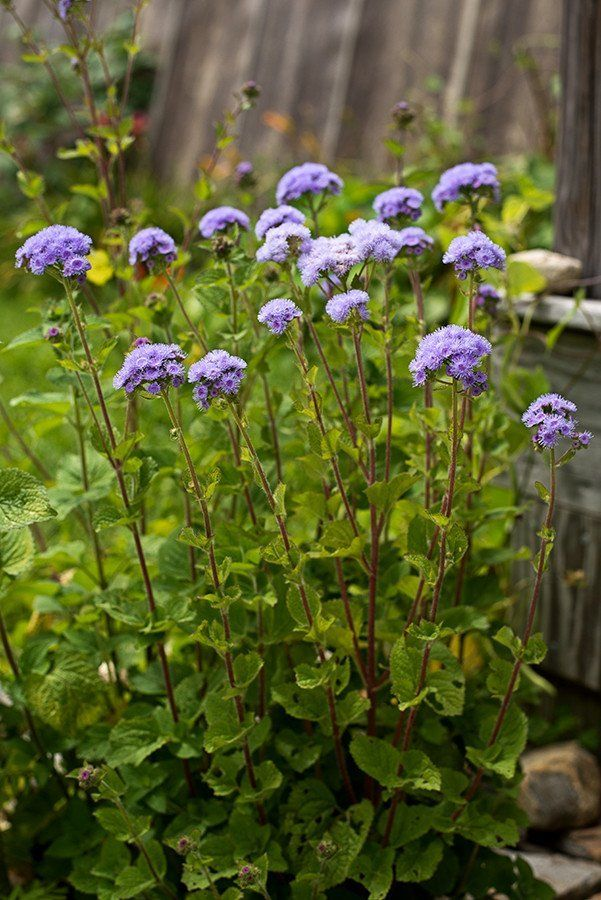 AGERATUM - DONDO BLUE - Pinetree Garden Seeds - Flowers,New for 2015