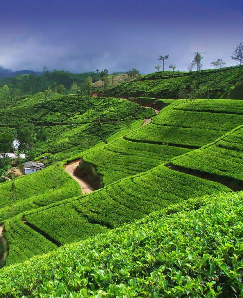 Tea estates in Kandy, Sri Lanka. These are so beautiful and so British. They roll for hours as you drive through inland Sri Lanka.