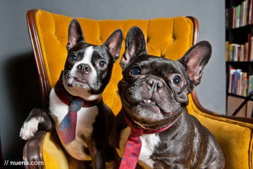 difference between french bulldog and boston terrier can you spot the difference between a frenchie and a 407