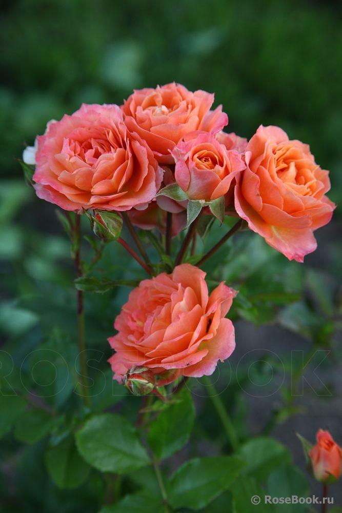 'Colibri Meillandina' | Miniature Rose. Meilland 2008