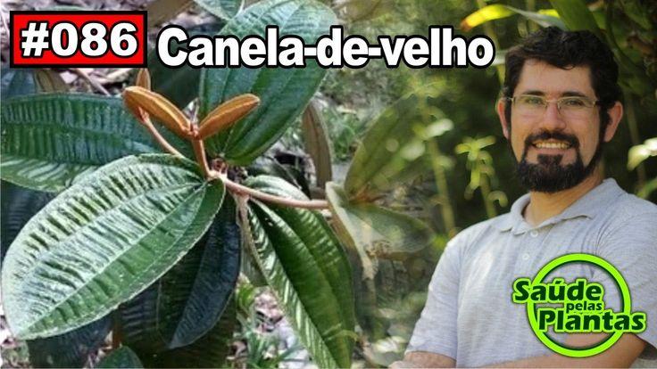 Saúde Pelas Plantas - Canela de Velho [artrite, artrose, reumatismo, ciá...