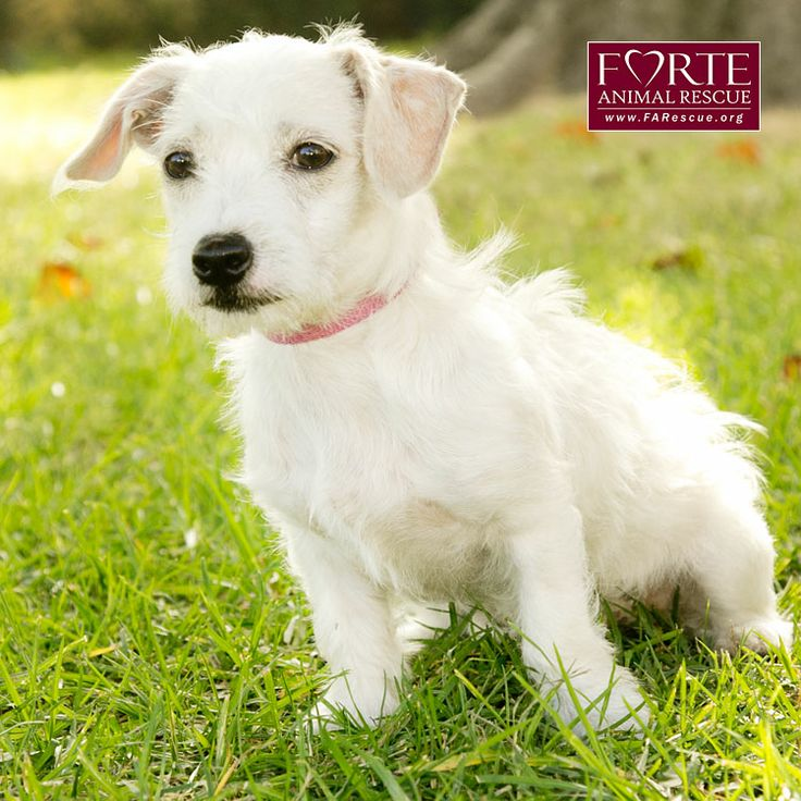 Jack Russell Terrier JRT x Poodle Mixed Breed Dog Mutt Puppy Dog Puppies Dogs Pup #Adoptable http://www.petfinder.com/petdetail/26402786/