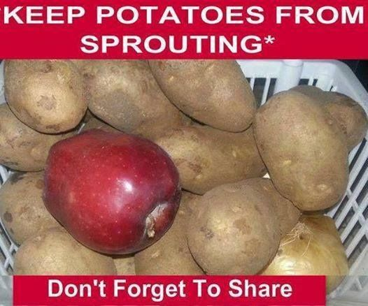 "apples and potatoes storage tip - proven by America's Test Kitchen. In their experiment, potatoes stored with an apple stayed firm and sprout-free even after eight weeks, compared to potatoes stored without an apple; they turned out ""largely soft, shriveled, and sad looking."" So add an apple and save your potatoes..."