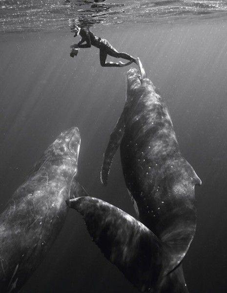 whales.Bryant Austin, Buckets Lists, Humpback Whales, Dreams Come True,  Hippopotamus Amphibius, Bucket Lists, Beautiful Creatures, Swimming, Animal