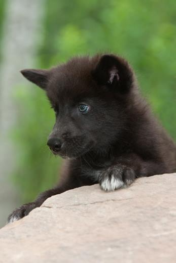 Black Wolf Pups | www.pixshark.com - Images Galleries With ...