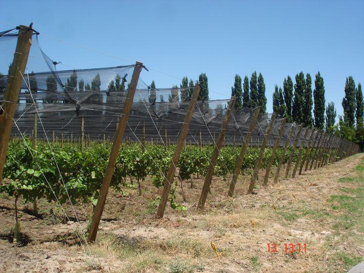 Espalder con malla antigranizo. #Vid #Finca del Ñango. Mendoza, Argentina