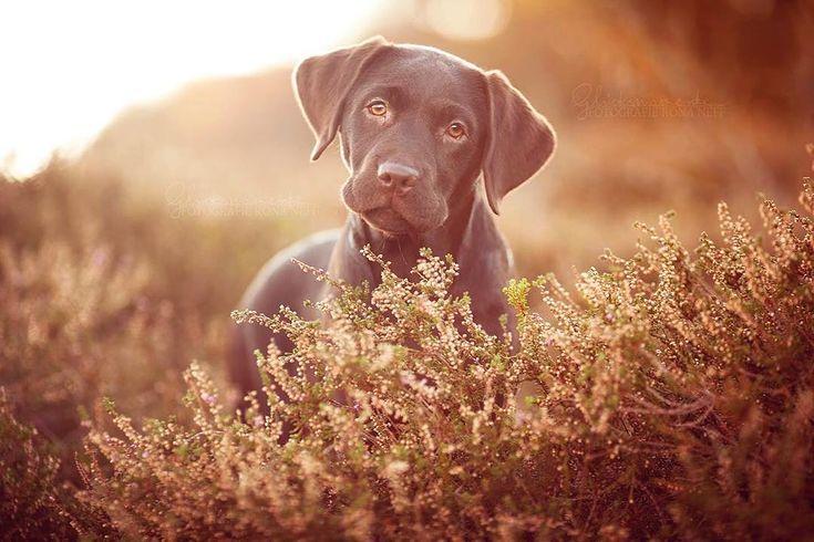 Klein Frieda wickelt alle im Nu um den Finger💕 Ein Labrador weiß halt einfach wie das funktioniert😎 Fotografiert habe ich Frieda auf Sylt und es war total schön einmal ganz ungewohnte Landschaften zum Fotografieren zu nutzen. #meowvswoof #retrieveroftheday #labradoroftheday #bestwoof #justlabradors #puppylove #puppiesofig #puppiesforall #labradorpuppy #justlabradors #bestwoof #labradoroftheday #retrieveroftheday #meowvswoof #prouddogmom #lovemydog #dogsofinsta #doglover #pocket_pets…