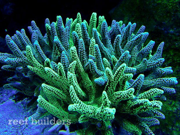 Two-tone green birdnest coral kind of just 'happened' for AquaticArt