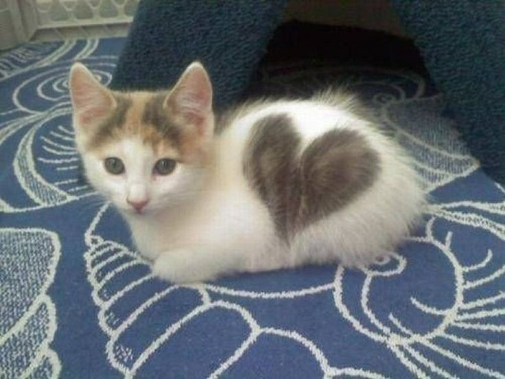 Calico kitten with a big heart