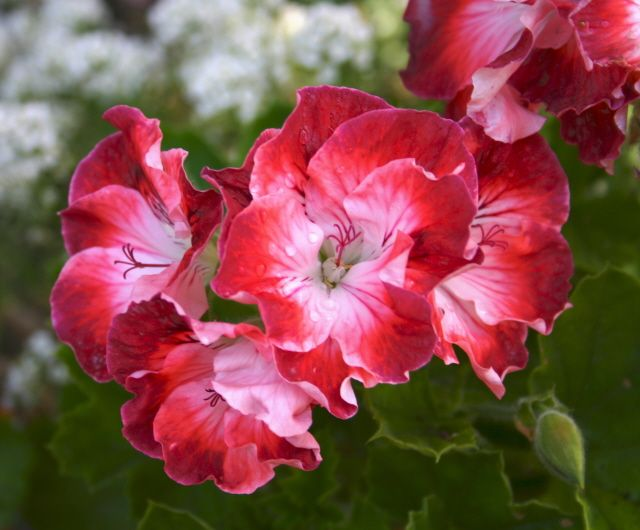 Martha Washington Geraniums.