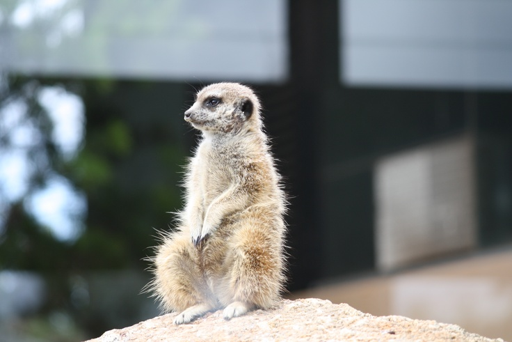 Meerkat at Werribee Zoo. How funny eating lunch whilst they watch you.