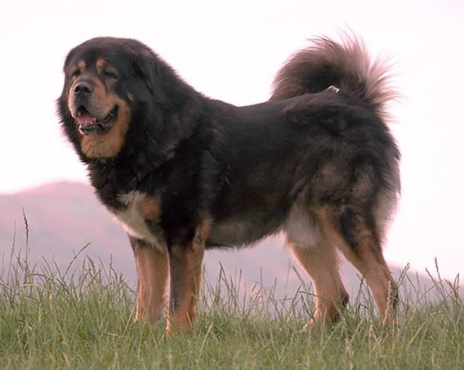 Mastín tibetano: Mastiff Breeder, Breeds Rare, Rarest Dogs, De Perro, Pictures, 10 Rare, Breeder Dogs, Tibetan Mastiff, Rare Dogs Breeds