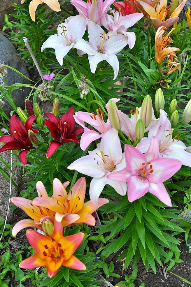 Tips On Growing Beautiful Lilies. Garden TipsGarden IdeasFlowers ...