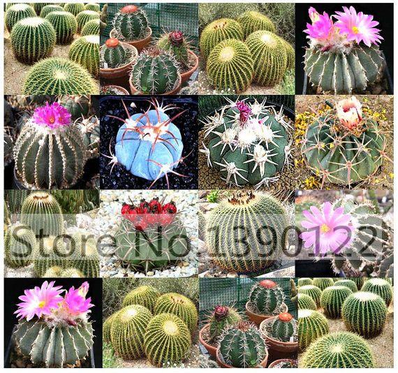 100pcs Fairy Succulents Seeds .anti-Radiation,Imported cactus seeds hybrid bonsai seeds,succulents seeds
