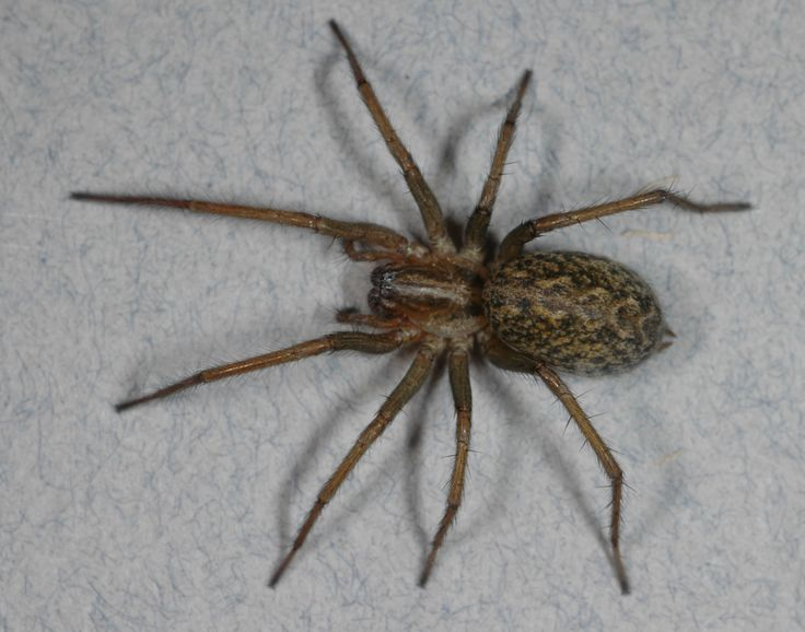 Hobo spider. Copyright: Richard Vetter.. this is another spider that NEEDS to stay away from me ,because it just might end up on the bottom of my shoe...EWWWW