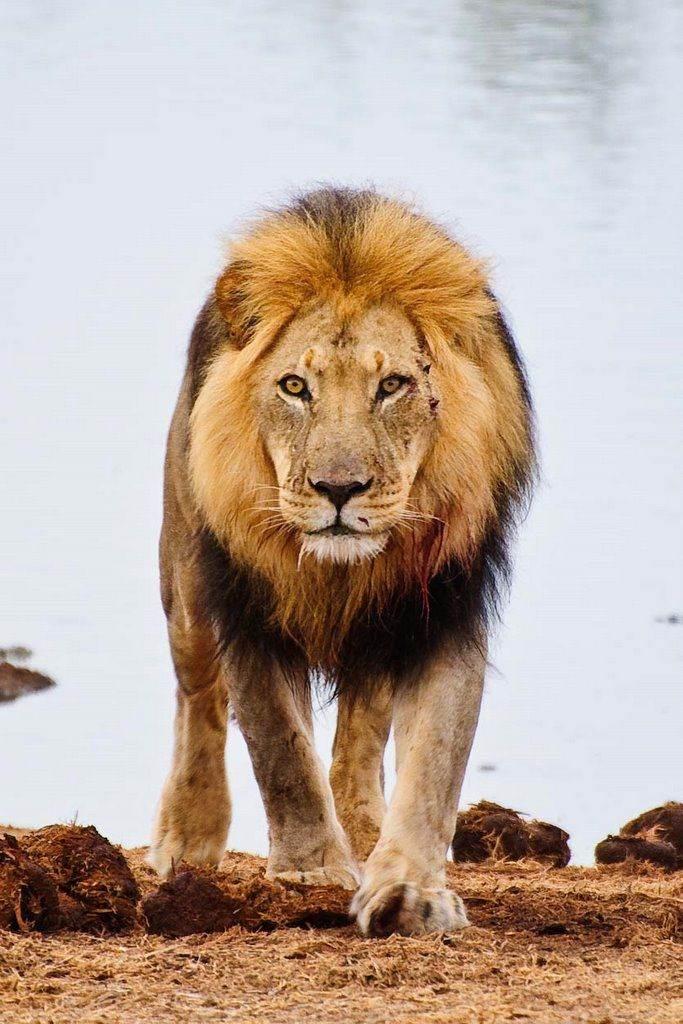 Lion, Addo National Park, South Africa