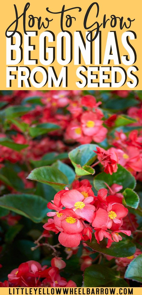 Starting Begonias From Seed Indoors A Complete How To Guide Tuberous Begonia Begonia Indoor Flowers
