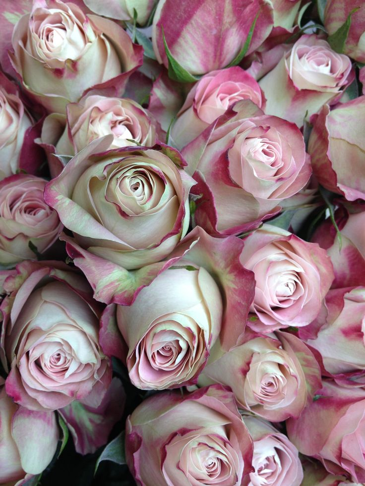 Upper Secret rose - a new favourite www.judithblacklock ...