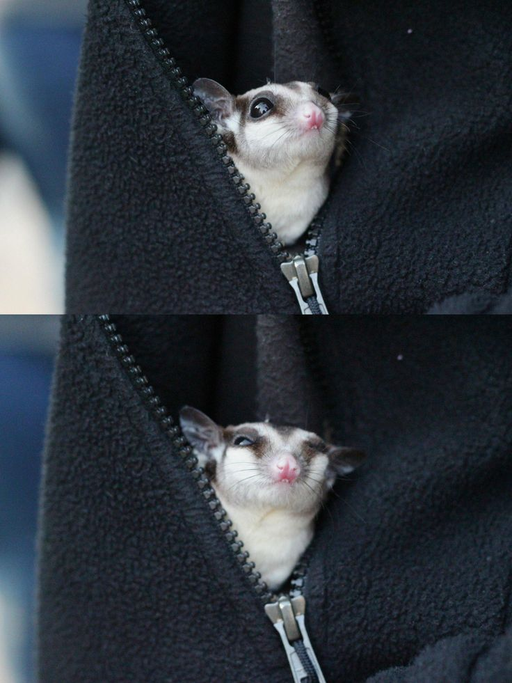 I loooove sugar gliders but they're so finickey...