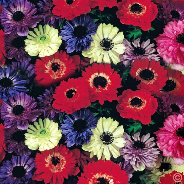 Anemone St. Brigid - 20 flower bulbs Buy online order yours now