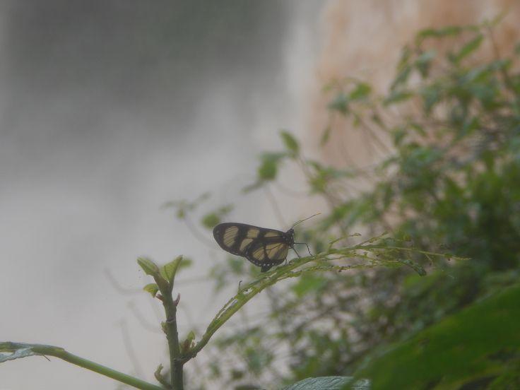 mariposa en las cataratas de iguazu........