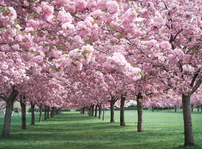 130 best flowering shade trees images on pinterest forests i need some pink trees mightylinksfo